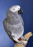 African Grey Parrot Royalty Free Stock Photography