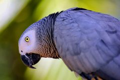 African grey parrot. Latin name Psittacus erithacus Royalty Free Stock Photography