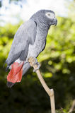 African Grey Parrot. In a sanctuary, sitting on a branch Royalty Free Stock Photos