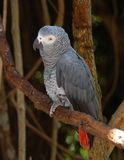 African Grey Parrot. The Congo African Grey Parrot (Psittacus erithacus), endemic to  rainforest of West and Central Africa, and is one of the most intelligent Stock Photo