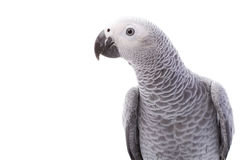African Grey Parrot Royalty Free Stock Image