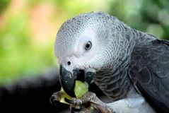 African Grey Parrot. Image of African Grey Parrot Stock Image