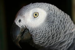 African grey parrot. No.2 Royalty Free Stock Photography