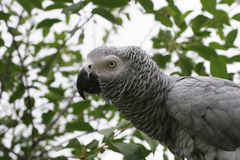 African grey parrot Stock Photos