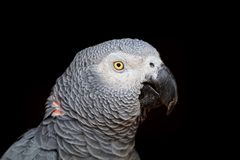 African grey parrot on black Royalty Free Stock Photography