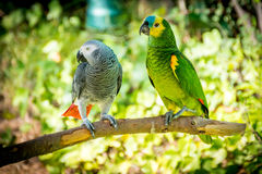 African grey parrot and Blue-fronted amazon Royalty Free Stock Images
