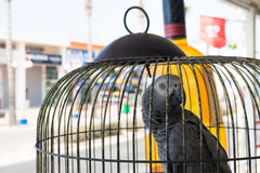 African grey parrot in a cage looking backwards Royalty Free Stock Photo