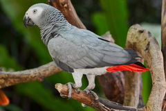 African Grey Parrot  or Grey Parrot (Psittacus erithacus). Perches on tree branch Stock Photo