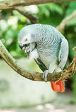 African Grey Parrot or Grey Parrot (Psittacus erithacus) Royalty Free Stock Photos