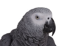 African Grey Parrot Head. Isolated head shot of an African Grey Parrot Royalty Free Stock Photography