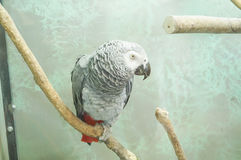 African grey parrot head close-up looking Royalty Free Stock Image