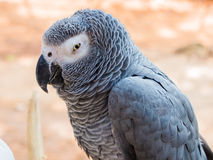 African grey parrot. Hold on branch Stock Photos