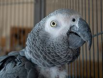 African grey parrot inside a cage. stock photo