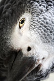 African Grey Parrot isolated on white Stock Photos