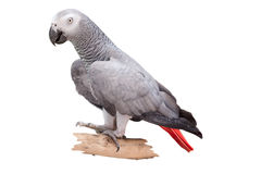 African Grey Parrot Royalty Free Stock Photos