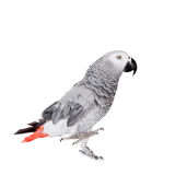 African Grey Parrot, isolated on white background Stock Images