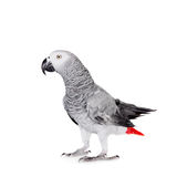African Grey Parrot, isolated on white background stock photo