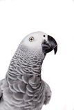 African Grey Parrot, isolated on white background Royalty Free Stock Photos