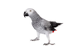 African Grey Parrot, isolated on white background Stock Image