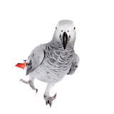 African Grey Parrot, isolated on white background Royalty Free Stock Image