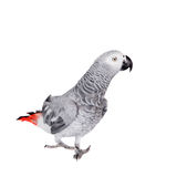 African Grey Parrot, isolated on white background Stock Photography