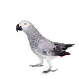 African Grey Parrot, isolated on white background Royalty Free Stock Images