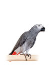 African Grey Parrot isolated on white Stock Photography