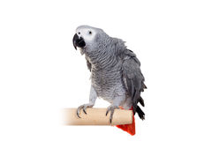 African Grey Parrot isolated on white Royalty Free Stock Photos