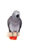 African Grey Parrot isolated on white Royalty Free Stock Images