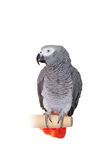 African Grey Parrot isolated on white Stock Photo