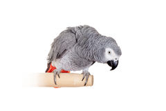 African Grey Parrot isolated on white Stock Images
