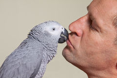 African grey parrot kissing a man. African grey parrot kissing his owner stock images