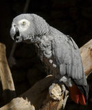 African grey parrot 1 Stock Photo