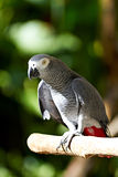 African Grey parrot in nature surrounding Royalty Free Stock Images