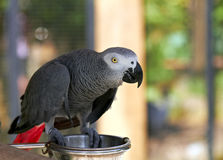 African Grey parrot in nature surrounding Royalty Free Stock Photography