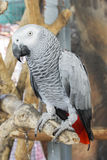 African Grey Parrot. Stock Photo