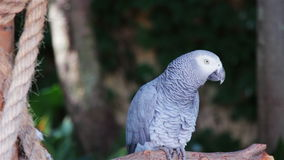 African Grey Parrot perched on a branch stock footage