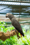 African grey parrot perched on branch Royalty Free Stock Photos