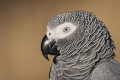 African Grey Parrot Portrait Stock Image