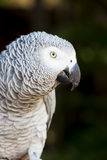 African Grey Parrot Portrait 1 Stock Photography