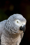 African Grey Parrot Portrait 5 Royalty Free Stock Image