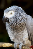 African Grey Parrot Portrait 2 Stock Photography