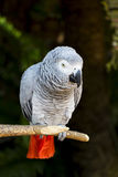 African Grey Parrot Portrait 3 Stock Image