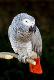 African Grey Parrot Portrait 4 Stock Photos