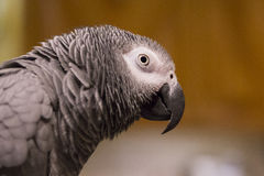 African Grey Parrot Portrait Stock Photos