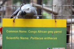 African Grey Parrot posing with identifier signage Stock Photography