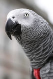African Grey Parrot - Psihacus erithacus Stock Image