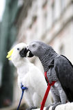 African grey parrot Psihacus erithacus -Sulphur-crested Cockat stock image