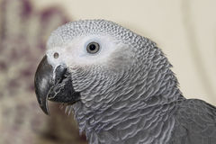 African Grey Parrot  (Psittacus erithacus) Stock Photos