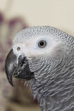 African Grey Parrot  (Psittacus erithacus) Royalty Free Stock Photos